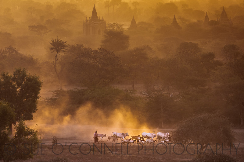Herding in Bagan