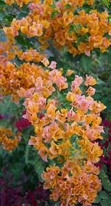 Colorful Bougainvillea