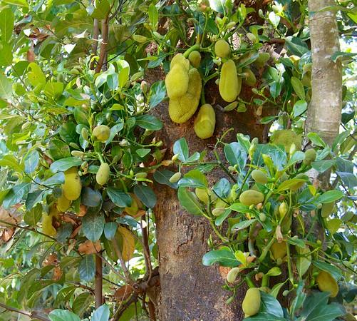 Jackfruit Tree<br /> <br /> Bilu Kyun (Ogre Island), Burma<br /> 23 December 2013