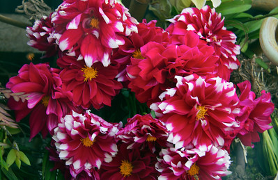 Beautiful Chrysanthemums for Sale