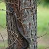 Wicker Man  a black snake climbs a tree  at Four Quarters Farm in Artemas PA, June 17-20 2010.