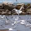 "Flock Of Seagulls by Lora Mosier<br /> <br /> No....not the band, the birds....no not the Byrds the band, the birds.  Okay, I'm starting to confuse my own self.  Perhaps the name of this picture should be A Lot Of Lakegulls.<br /> <br />  <a href=""http://www.burningriverboutique.com"">http://www.burningriverboutique.com</a>"