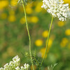 """Queen Anne's Lace by Lora Mosier<br /> <br /> The back yard is full of wonderful items.<br /> <br />  <a href=""""http://www.burningriverboutique.com"""">http://www.burningriverboutique.com</a>"""