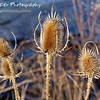 "Thistle Show Them by Lora Mosier<br /> <br /> These thistles dot the bluff along the lake making a beautiful natural barrier.  <br /> <br /> Much more attractive than a barbed wire fence, don't you think?<br /> <br /> <br />  <a href=""http://www.burningriverboutique.com"">http://www.burningriverboutique.com</a>"