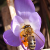 "Passionately Pollinating by Lora Mosier<br /> <br /> It's officially Spring when the crocus are out and the bees are helping to make more!<br /> <br /> Found this busy bee hard at work in the back yard.  He didn't seem to mind that I was documenting his work.<br /> <br />  <a href=""http://www.burningriverboutique.com"">http://www.burningriverboutique.com</a>"