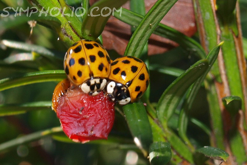 "Luck be a Lady(bug) by Lora Mosier<br /> <br /> I had no idea that lady bugs have different marking, did you?<br /> <br /> I also didn't know that they ate berries (of course, I had no idea what might be for supper in the land-o-ladybug).<br /> <br /> And look how nice they share.<br /> <br />  <a href=""http://www.burningriverboutique.com"">http://www.burningriverboutique.com</a>"