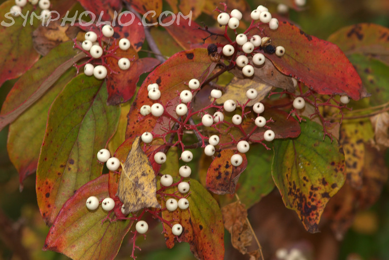 "The Eyes Have It by Lora Mosier<br /> <br /> Don't these berries look like goblin's eyeballs?  Not seein' it?  Get it ~ seeing it?  <br /> <br /> Even if it is just a tree with berries on it, I still think it's nature's perfect Halloween picture. <br /> <br />  <a href=""http://www.burningriverboutique.com"">http://www.burningriverboutique.com</a>"