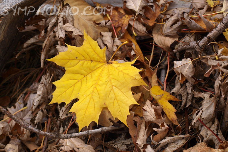 "Color Splash by Lora Mosier<br /> <br /> This yellow leaf took the leading role among the dried leaves in front of the wood pile.<br /> <br /> Even nature has its show offs. <br /> <br /> <br />  <a href=""http://www.burningriverboutique.com"">http://www.burningriverboutique.com</a>"