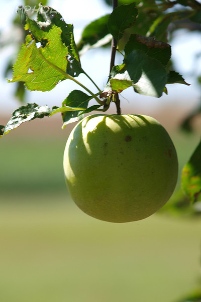 """An Apple a Day by Lora Mosier<br /> <br /> It's been said that an apple a day keeps the doctor away, but I'm pretty sure that if you ate a green apple every day, that would be a sure way of not keeping the doctor away (unless, of course it's a Granny Smith apple).<br /> <br />  <a href=""""http://www.burningriverboutique.com"""">http://www.burningriverboutique.com</a>"""