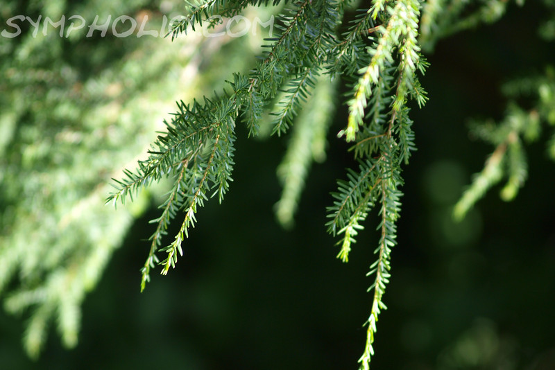 "Evergreen by Lora Mosier<br /> <br /> This is one item in nature that doesn't need to be flashy to get attention.  <br /> <br /> There's something so beautiful in the simplicity of an evergreen.  <br /> <br /> <br />  <a href=""http://www.burningriverboutique.com"">http://www.burningriverboutique.com</a>"