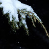 Snow Capped Evergreen