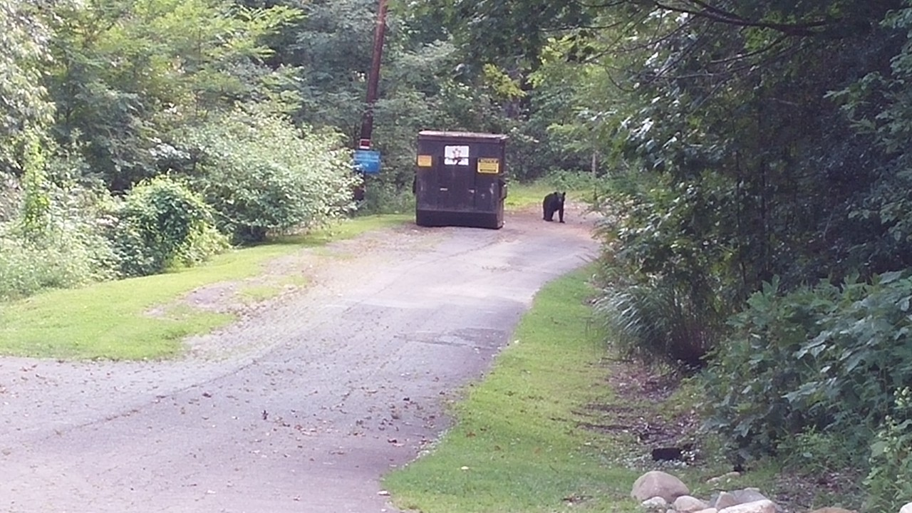 We encountered this bear UP CLOSE on the path from the clubhouse to the condo, but I didn't have my camera readily available.  By the time we got down the path, the bear appeared again at the trashbin area and the camera was ready.