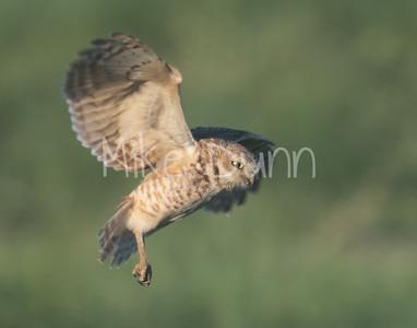 Burrowing Owl 19-30