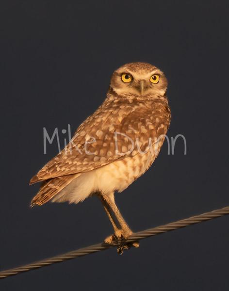 Burrowing Owl 19-28