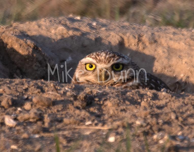 Burrowing Owl 19-18