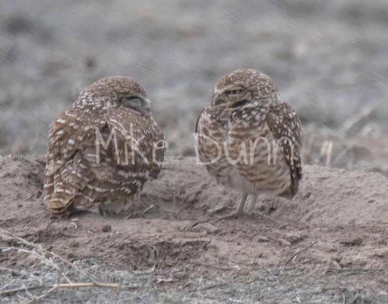 Burrowing Owl 19-16