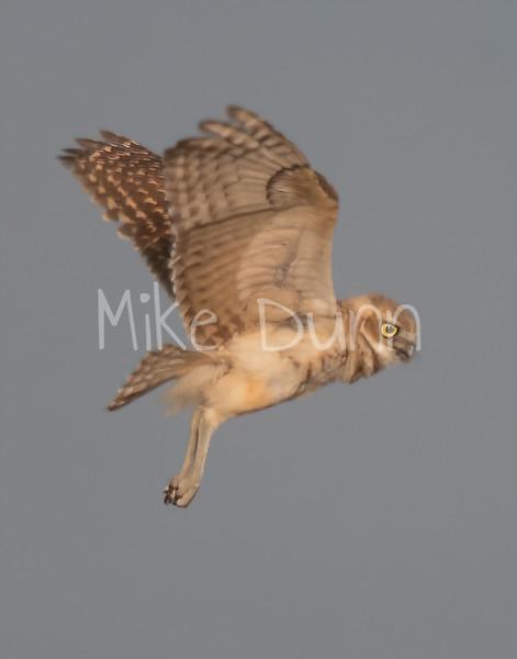 Burrowing Owl 19-51