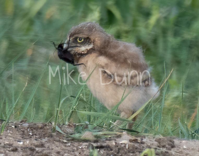 Burrowing Owl 19-35
