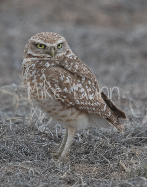 Burrowing Owl 19-7
