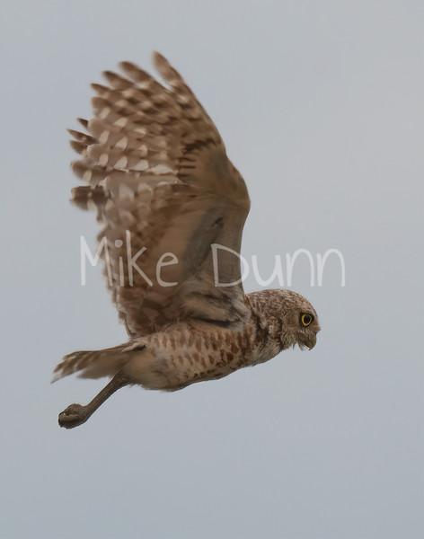 Burrowing Owl 19-55