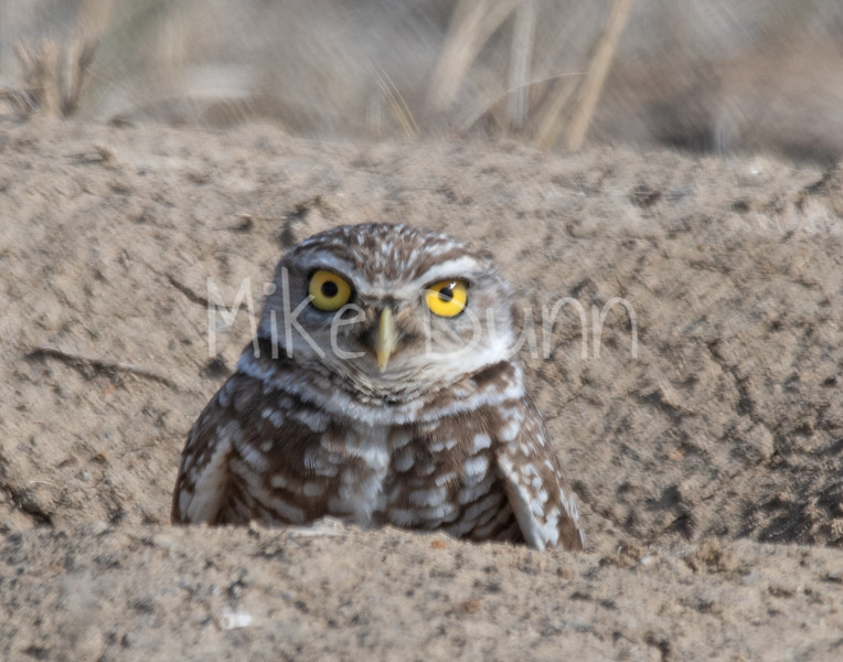 Burrowing Owl 19-4