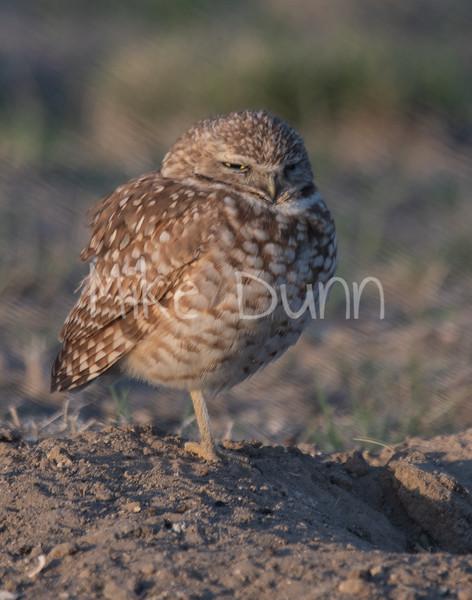 Burrowing Owl 19-25