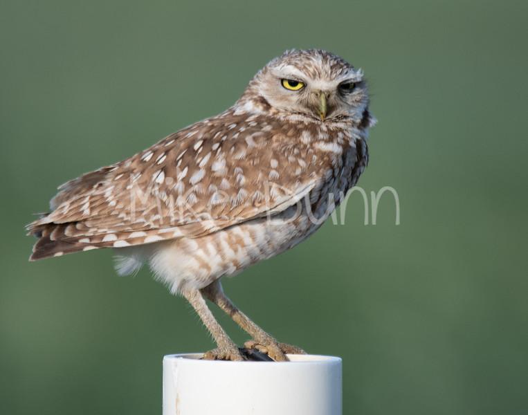 Burrowing Owl 19-33