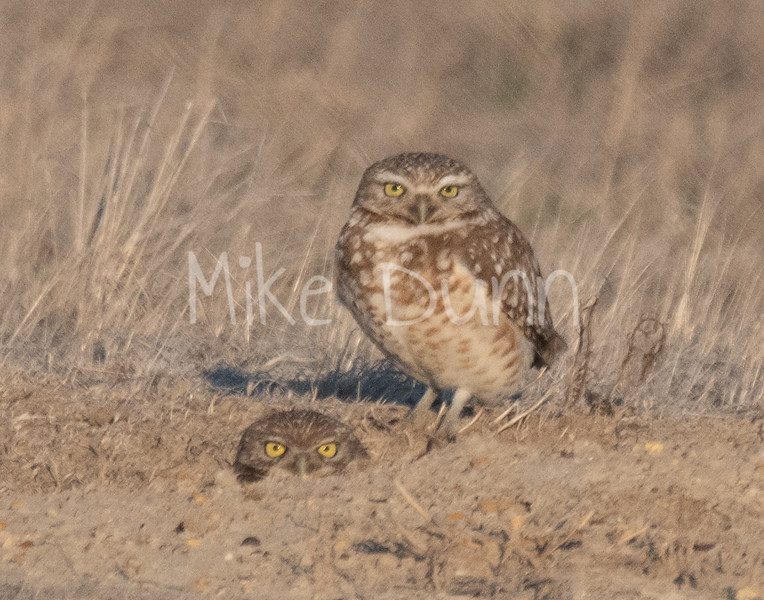Burrowing Owls 19-1
