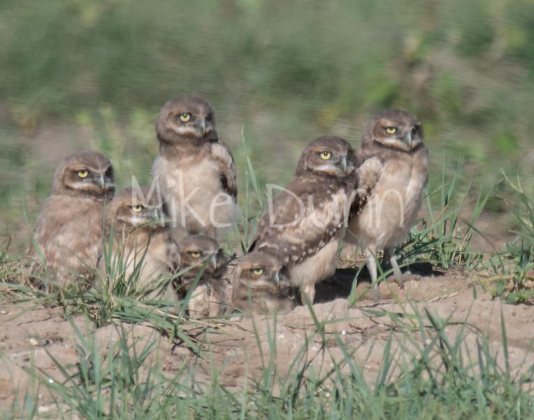 Burrowing Owl 19-42