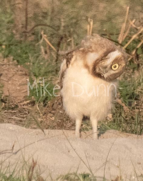 Burrowing Owl 19-39
