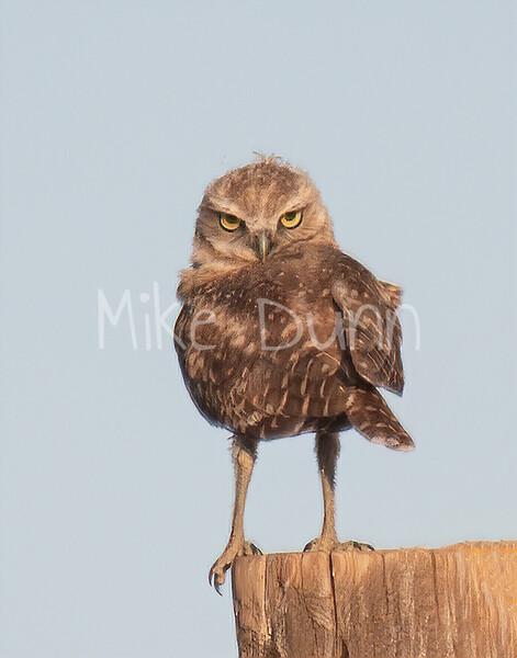 Burrowing Owl 19-57