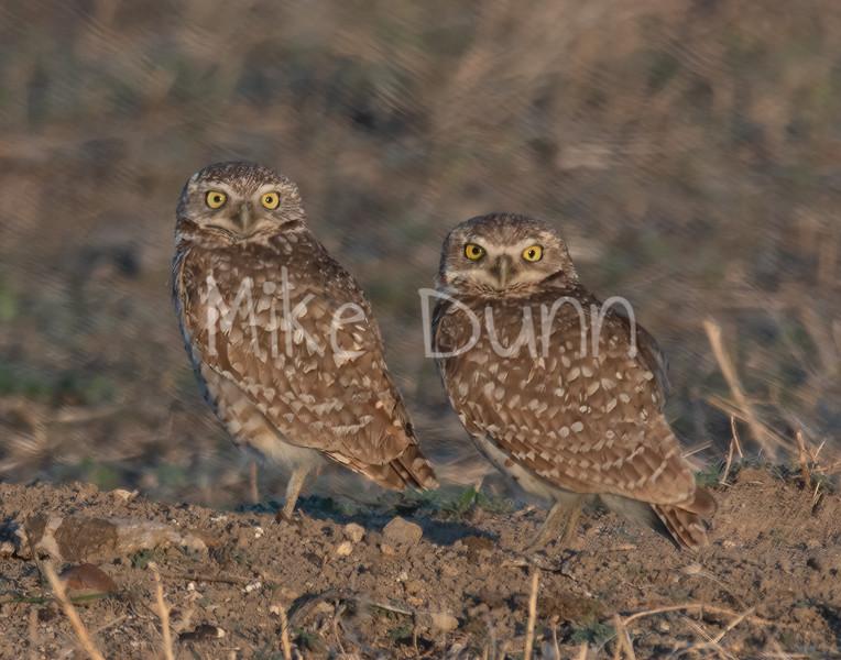 Burrowing Owl 19-17