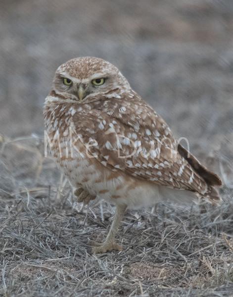 Burrowing Owl 19-8