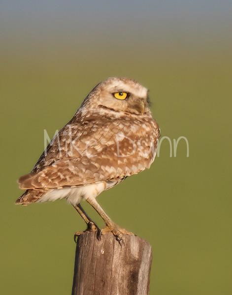 Burrowing Owl 19-37