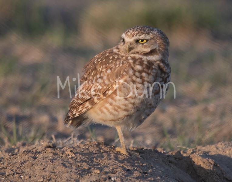 Burrowing Owl 19-24