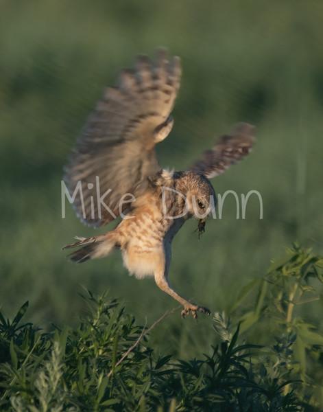 Burrowing Owl 19-32