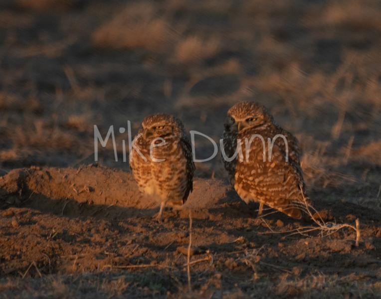 Burrowing Owl 19-15