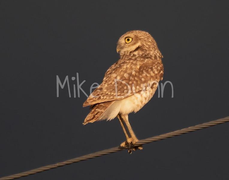 Burrowing Owl 19-29
