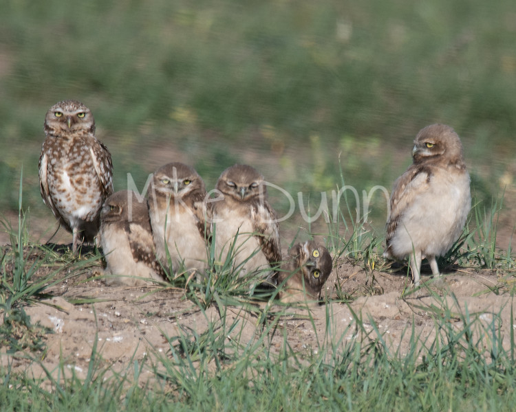 Burrowing Owl 19-41