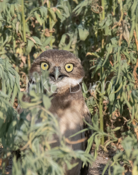 Burrowing Owl 19-40