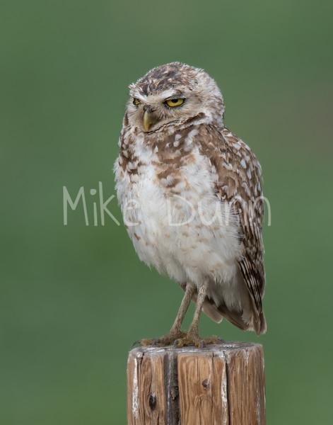 Burrowing Owl 19-34