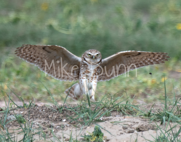 Burrowing Owl 19-48