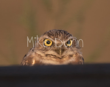 Burrowing Owl 19-60