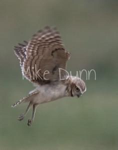 Burrowing Owl 19-59
