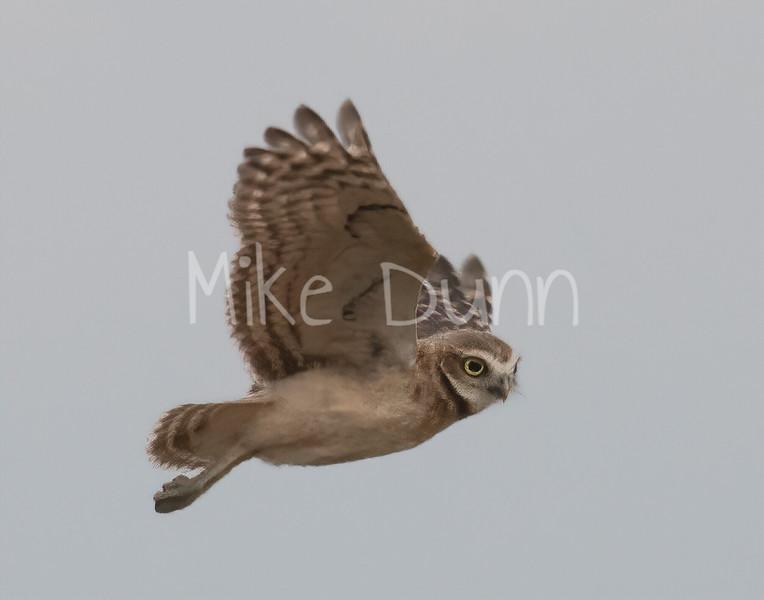 Burrowing Owl 19-54