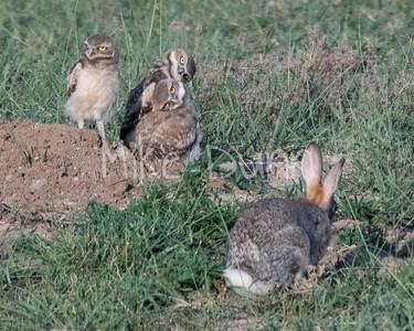 Burrowing Owl 19-50