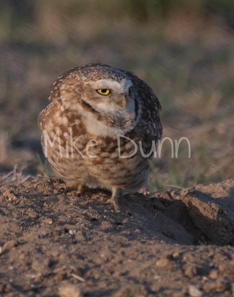 Burrowing Owl 19-20