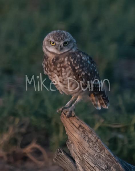 Burrowing Owl 19-58