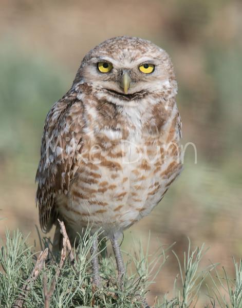 Burrowing Owl 19-56