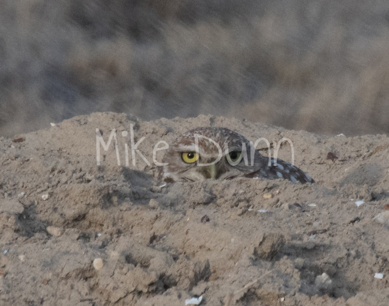 Burrowing Owl 19-9